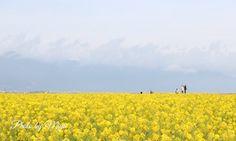 2016/1/8 びわ湖畔の菜の花畑 。+゚ *寒咲花菜(カンザキハナナ)と比良山系 比良山には雲がかかってたけど 鮮やかな黄色に春を告げられたよう