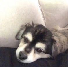 Dog Love, Puppy Love, Cutest Dog On Earth, Calum 5sos, Funny Animals, Cute Animals, Abandoned Churches, Calum Thomas Hood, Pomsky