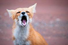 """I want my MTv!"" Fabulous foxes"