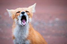 want this fox.