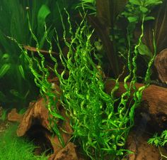 oV160DZ - XL In-Vitro Korkenzieher Schwertpflanze _ Echinodorus vesuvius TOP Raritaet wasserflora DZ oV160DZ