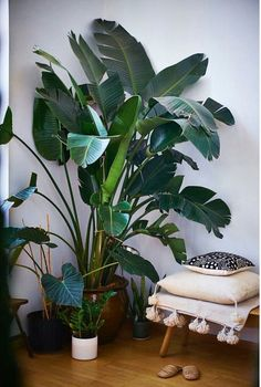 Extra Large Indoor Plants Looking Stunning.