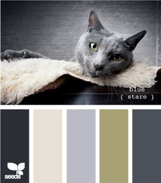 blue stare grey cat