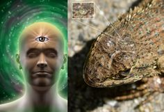 Secrets Of The Pineal Gland: Our Ancestors' Third Eye And Its Link To Mammal Evolution
