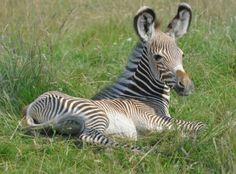 Baby Zebrs