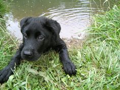 Black lab puppy: First swimming lesson!