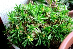 : Euphorbia bupleurifolia x suzannae 'Cocklebur'