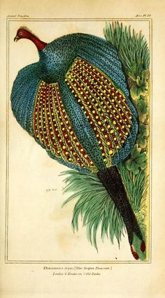 Cuvier Day extra plates -All illustrations from publications by Baron Georges Cuvier      Argus Pheasant
