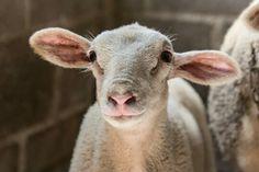 #lamb #nature #sheep #love #beauty #myphotos