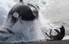 orca cazando foca