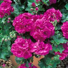 Geranios o Pelargonium: siembra, cuidados y reproducción - http://jardineriaplantasyflores.com/geranios-o-pelargonium-siembra-cuidados-y-reproduccion/