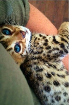 30 Savannah Cats That Are Redefining How Cute Cats Can be
