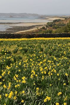 Most current Free Narcissus field Concepts Long-lived daffodils are amongst the easiest to develop in addition to most popular early spring its Wonderful Places, Beautiful Places, Holiday Places, Paradise On Earth, Cornwall England, Little Island, Daffodils, Places To Travel, Coastal