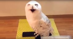 There Is Nothing Cuter Than A Laughing Owl