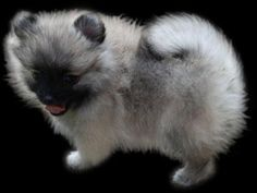 Pomeranians from Showin Poms Wolf Sable Pomeranian, Wolf Cry, Shadow Wolf, Big Bad Wolf, Pomeranians, Babies Stuff, Hush Puppies, Dogs, Animals