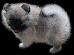 Pomeranians from Showin Poms Wolf Sable Pomeranian, Pomeranians, Dogs, Animals, Animaux, Doggies, Animal, Pomeranian, Animales