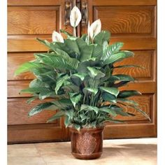 Order Spathiphyllum Plant - from Ms. Scarlett's Flowers & Gifts, your local Bradenton florist. For fresh and fast flower delivery throughout Bradenton, FL area.
