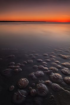 Migration of jellyfishes in baltic sea estonia - by Andrei Reinol -