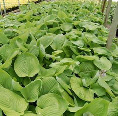 Hosta 'Sum & Substance' 3' (4' in flower) pale lilac blooms summer to late summer