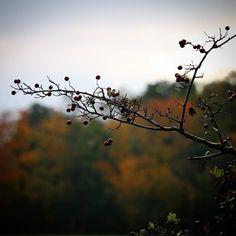 Vestfynske bær ved Ebberup med naturens smukke efterårsfarver i baggrunden #visitfyn #fyn #visitdenmark #efterår #autumn #natur #denmark #danmark #dänemark #landscape #nofilter #sky #assens #mitassens #forrest #fynerfin #skov #vielskernaturen #visitassens #instanature #picoftheday