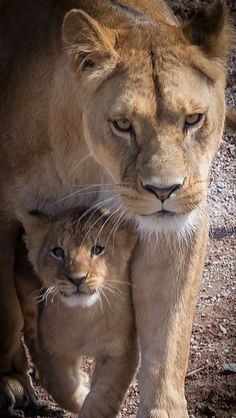 A Lioness ~ With Her Cub. (Photo By: Jacques Barbaix on - A Lioness ~ With Her Cub. (Photo By: Jacques Barbaix on Informations About A Lioness ~ With - Big Cats, Cats And Kittens, Cute Cats, Animals And Pets, Baby Animals, Cute Animals, Wild Animals, Nature Animals, Beautiful Cats