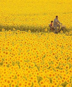 Sunflowers in full bloom & Mashiko, Japan. Photo by The post Sunflowers in full bloom Mashiko, Japan& appeared first on . Illustration Design Graphique, Japon Illustration, Sunflower Images, Nature Photography, Travel Photography, Canon Photography, Photography Photos, Lifestyle Photography, Image Nature