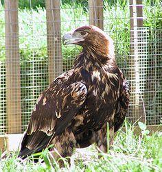 Spanischer Kaiseradler (Aquila adalberti), unausgefärbt (immatur)