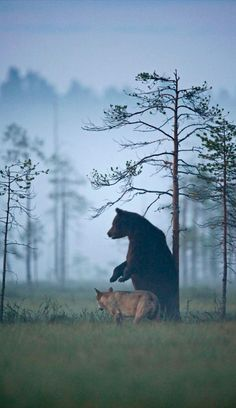 She-wolf and brown bear are hunting partners in the wilds of northern Finland • photo: Lassi Rautiainen on Nordic Thoughts