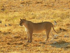 The first lioness of the trip, Etosha National Park, Namibia