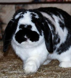 Jason Bunny!  My favorite kind of rabbit: Black & white and lop eared!