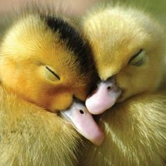 Get plenty of rest over this Christmas Holiday, because the New Year has Big Plans for You! 💛☃️💛 🦆 🎄 ☃️ 📚 A few varied photos that I like Cute Little Animals, Cute Funny Animals, Cute Creatures, Beautiful Creatures, Beautiful Birds, Animals Beautiful, Beautiful Pictures, Cute Ducklings, Baby Ducks