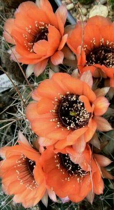 Desert Plants, Cactus Flower, Cacti And Succulents, Planting Flowers, Garden, Plants, Cactus