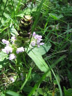 Heal all, Self heal or wound wort member of the mint family. Best dried in a dark, well ventilated place and stored where it will not get damp or exposed to light. Use this plant is in a warm tea or sun tea.  Internally used to help with an upset stomach or diarrhea. Used to boost the immune system at the first symptoms of a fever. Mild antibacterial action: great gargle for sore throats or mouth sores (gargle can be swallowed). Also used cooled to wash out infected eyes or styes.