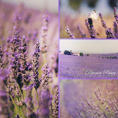 Lavander Fields - Provence