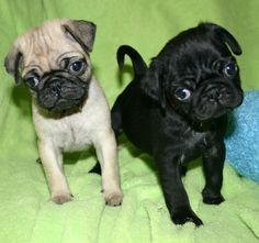 Pug_Puppies.jpg 1,600×1,504 pixels
