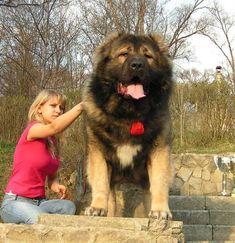 russian bear dog - Google Search
