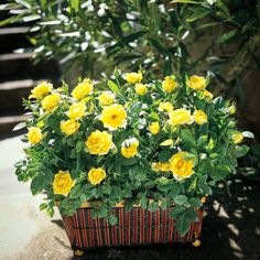 Outdoor Living Driving Gardening Trends For 2006 Pruning Knockout Roses, Knockout Rose Tree, Double Knockout Roses, Rose Bushes For Sale, Rose Diseases, Yellow Flowers, Colorful Flowers, Backyards, Flower Beds