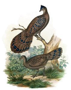 Grey Peacock-Pheasant (Polyplectron bicalcaratum)    From Bilder-atlas zur Wissenschaftlich-populären Naturgeschichte der Vögel ( Atlas, or Volume of plates to Scientific and popular natural history of birds), by Leopold Joseph Fitzinger, Vienna, 1864.