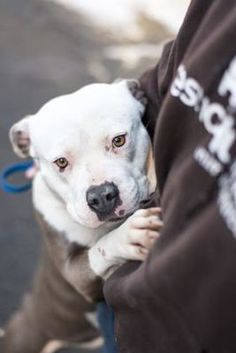 Fresno CA, CA - American Pit Bull Terrier. Meet Blossom a Dog for Adoption.
