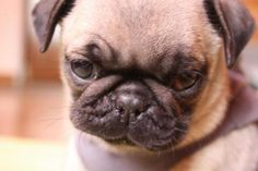 Baby pug is so unimpressed with you right now