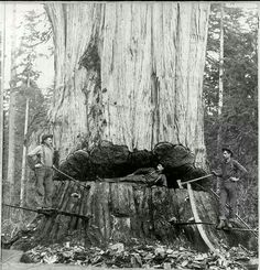 Its amazing they could cut these down back then and get them out of the woods with horses.