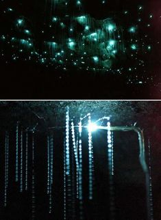 The Waitomo Glowworm Cave is a cave on the North Island of New Zealand, known for its population of glowworms, Arachnocampa luminosa. These glowworms spin a nest out of silk on the ceiling of the cave and then hang down. Then, the larva glows to attract prey into its threads, so that the roof of a cave is covered with larva can look remarkably like the heavens at night.