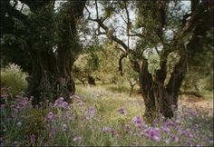 Old olive orchard, Zakynthos Landscape Paintings, Landscapes, Tree Leaves, Olive Tree, All Flowers, Crete, Hedges, Travel Around, Flower Power