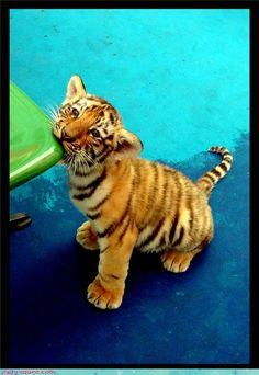 Tiger Cub~~~~ What a doll!!