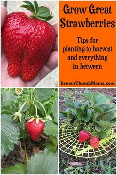 Grow Gallons of Strawberries Strawberries are super-easy to grow, but there are a few important tips to keep in mind. Here's everything you need to know to grow gallons of in your garden. Strawberry Garden, Fruit Garden, Strawberry Plant Care, Potted Flowers, Home Vegetable Garden, Herb Garden, Balcony Garden, How To Garden, Gardening