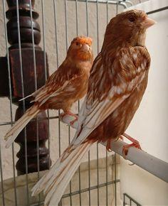 Pigeon Breeds, Canary Birds, African Grey Parrot, Goldfinch, Colorful Birds, Beautiful Birds, Pet Birds, Pets, Animals