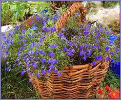 Лобелия: посев семян и выращивание рассады