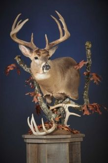 NAP-33 Pedestal, Deer Head Decor, Whitetail Deer Pictures, Taxidermy Display, Deer Mounts, The Best Is Yet To Come, Deer Hunting, Future House, Horns