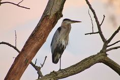 Great Blue Heron by jrinker, Eastwood MetroPark.  Check out all the birding locations.  www.metroparks.org