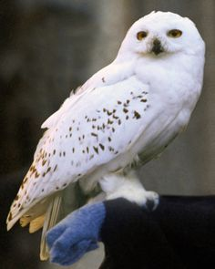 Hedwig (d. 27 July, was Harry Potter's pet Snowy Owl (Bubo scandiacus). Hedwig was an Hedwig Harry Potter, Gina Harry Potter, Hery Potter, Harry Potter Icons, Harry Potter Pictures, Harry Potter Aesthetic, Harry Potter World, Harry Potter Characters, Hogwarts